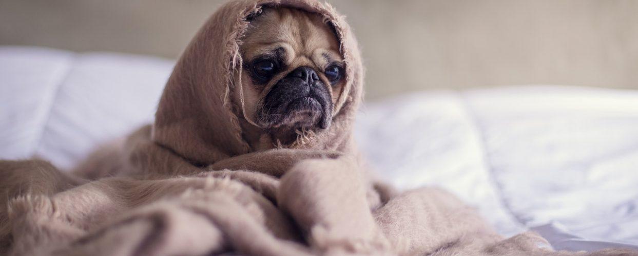Allergiska hundar