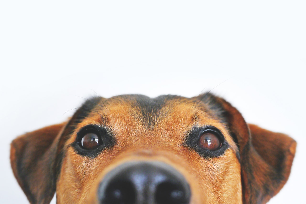 Hund som nyfiket betraktar dig